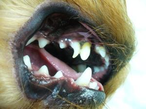 cобаки лечение зубов спб: