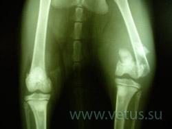 переломы костей кошка