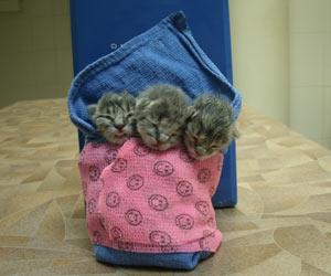 Беременность кошки признаки сроки календарь родов ложная беременность