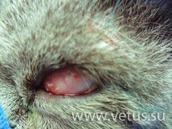 Тарзорафия - закрытие поверхности роговицы глаза кошки третьим веком