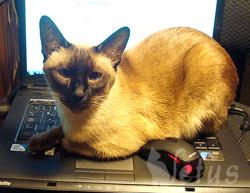 Тайская кошка Бася отзывается хорошо о врачах ветклиники Ветус