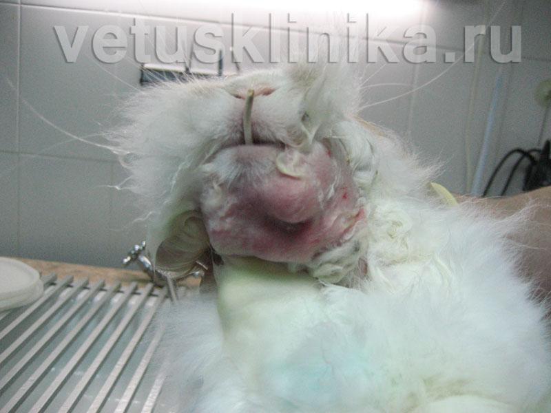 Абсцессы у котов фото