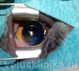 Вид роговицы глаза кошки после кератэктомии (удаление повреждённой роговицы)