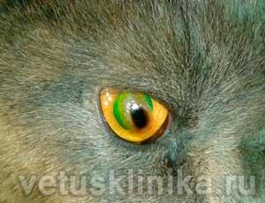 Корнеальный секвестр глаза кошки с эрозией роговицы
