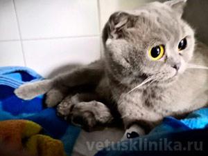 Британская кошка в родах в нашей клинике